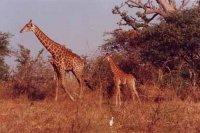 girafe-niokolo-koba.jpg