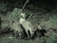 hyenes-savane-senegal.jpg